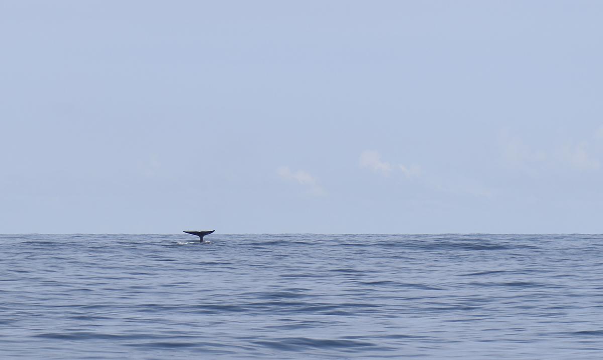 whalewatching mirissa ©thefreesurfer.com