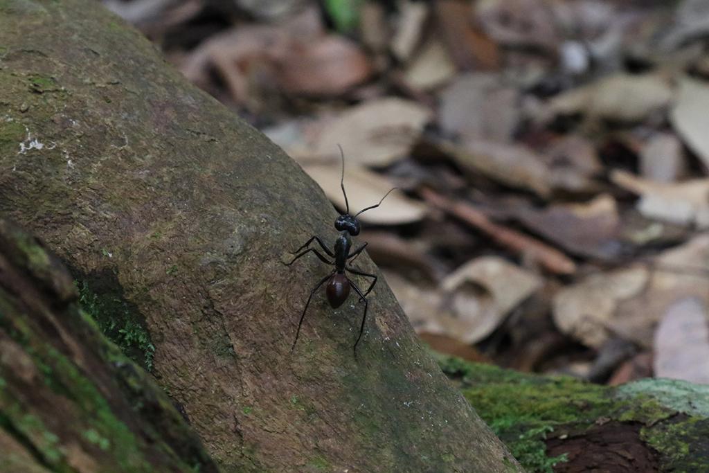 Bukit Lawang jungle trek thefreesurfer.com huge ant
