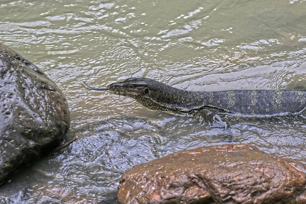 Bukit Lawang jungle trek thefreesurfer.com monitor lizard