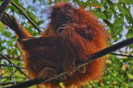 Bukit Lawang jungle trek thefreesurfer.com orangutan baby