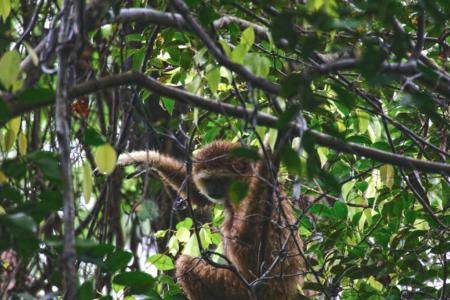 Bukit Lawang jungle trek thefreesurfer.com gibbon