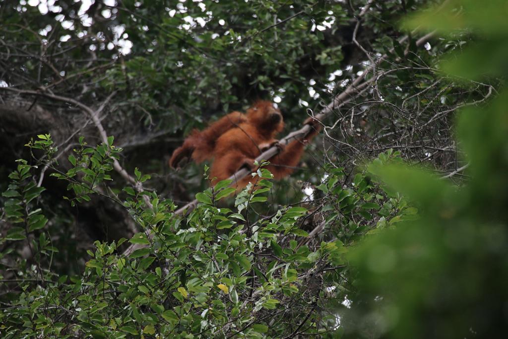 Bukit Lawang jungle trek thefreesurfer.com orangutan